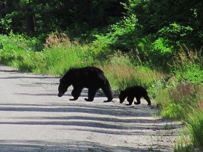 Mother and Cub Elliot Lake, ON