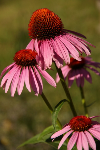 Coneflower Morning Greater Napanee, ON