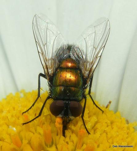 golden fly Kitchener, ON