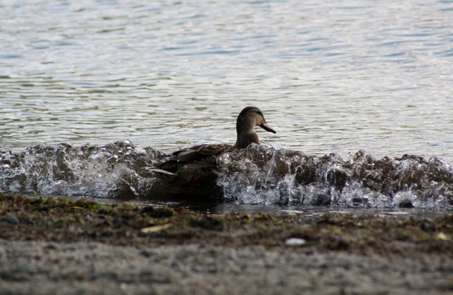 Duck in the waves Vernon, BC, Canada