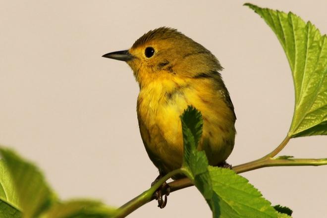 Yellow Warbler Saskatoon,Sk