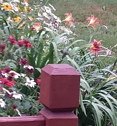 Humming bird in our backyard La Prairie, QC