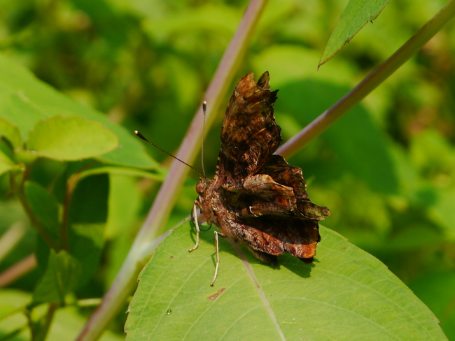 A special moth Rouge Park, Toronto, ON