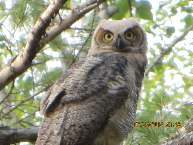Great Horned owl juvenile Durham Bridge N.B.