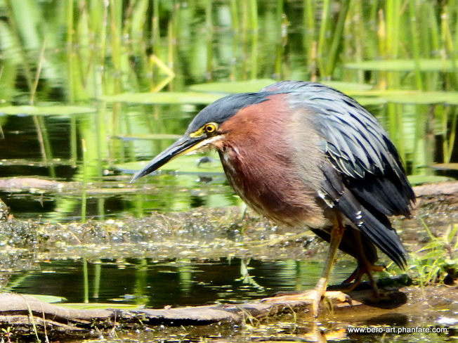 Green Heron neck size: small, medium and large Ottawa, ON