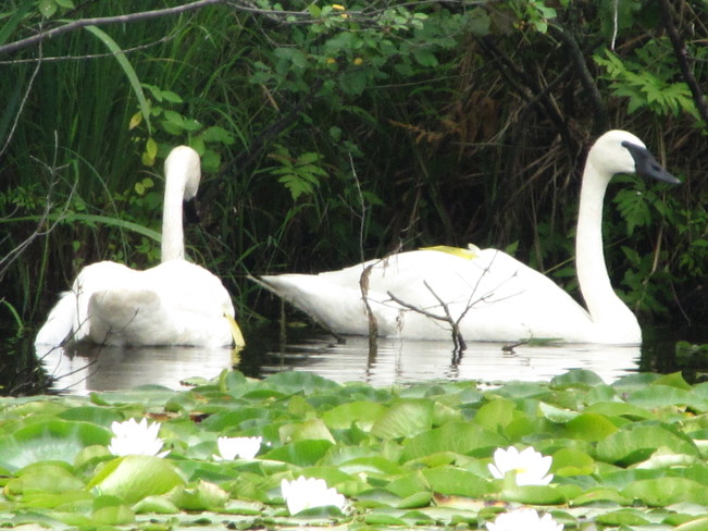 Trumpeter Swans, One of many favourite areas at the Wye Marsh Midland, ON