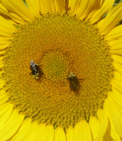 Small bees, big sunflower Vancouver, BC
