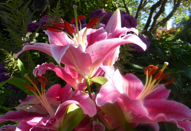 Pink lilies Vancouver, BC