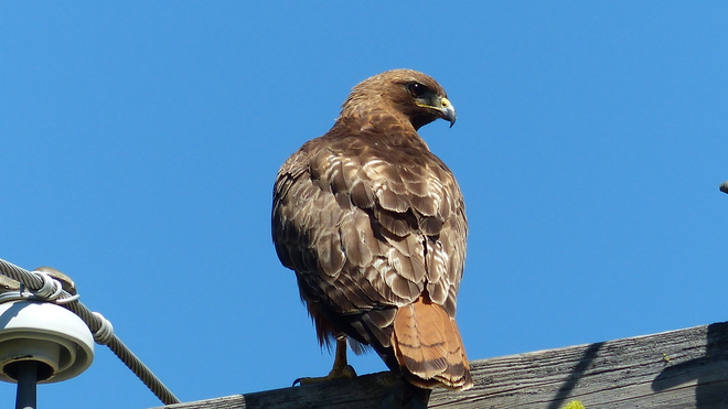 Beautiful golden eagle Grand Forks, BC