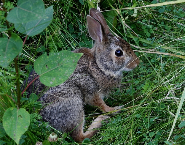 Baby Cottontail... ; } Scarborough, Toronto, ON