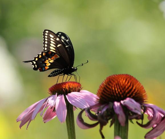 Urquart Butterfly Garden Dundas, Hamilton, ON