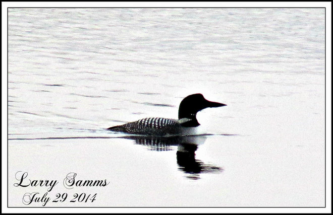 """Lonly Loon"" Springdale, Newfoundland and Labrador Canada"