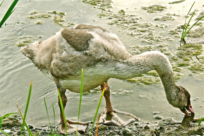 A Trumpeter Swan Bigfoot Legend in the Making