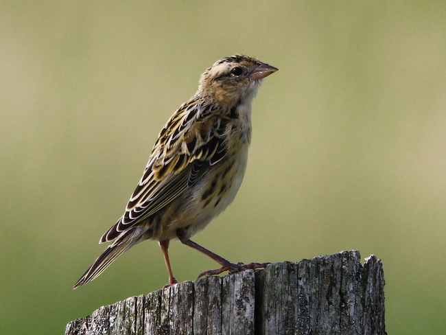 Female or Juvenile Bobolink ? Fergus, ON