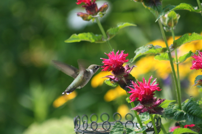 Baby Hummingbirds are out! Severn Bridge, ON