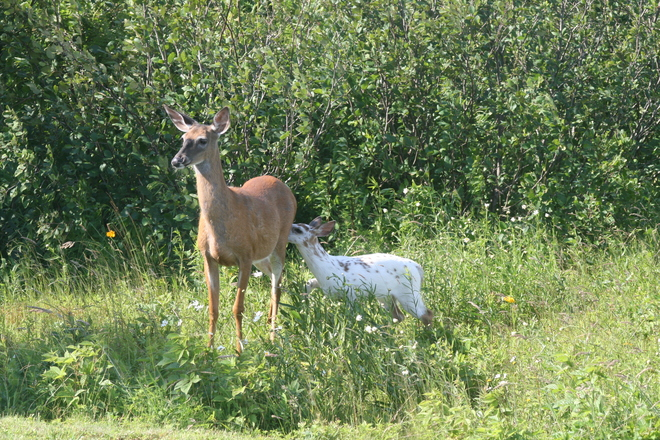 Piebald deer 30-62 Spinney Road, Middle West Pubnico, NS B0W 2M0, Canada