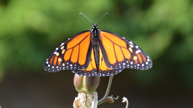 Beautiful Monarch! St. Catharines, ON