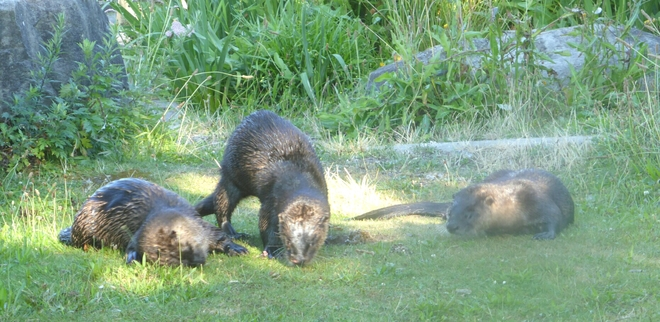 River otters at Stanley Park Vancouver, BC