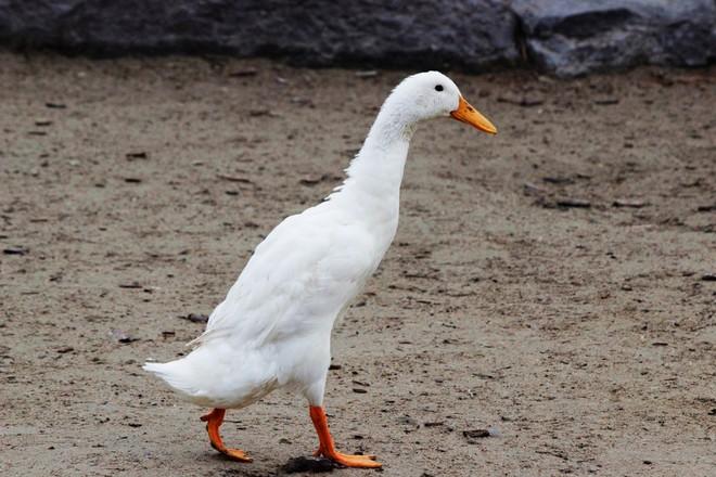 Indian Runner duck (Tall duck ) Richmond Hill, ON