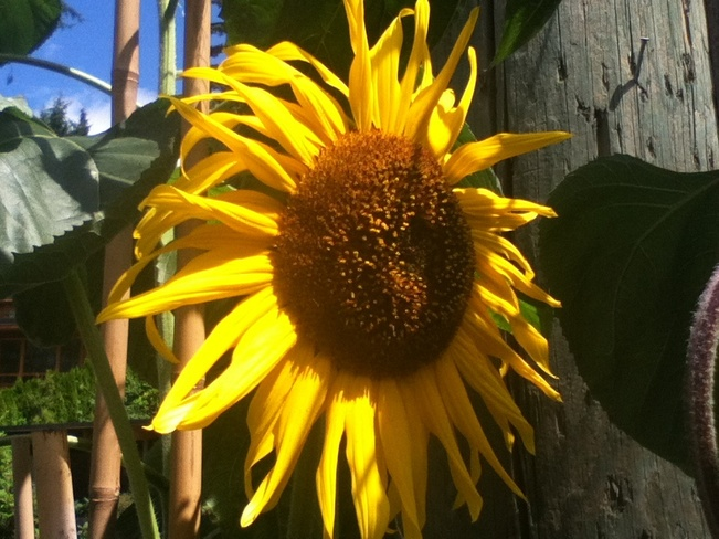 Sunflower! North Vancouver, British Columbia Canada