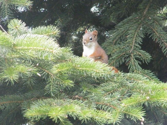 Red Squirrel Owen Sound, ON