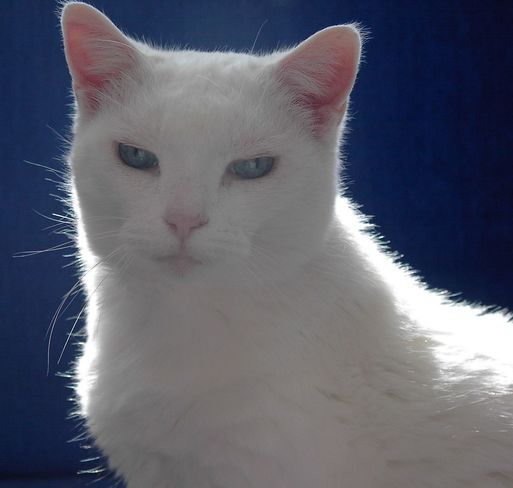 Casper with the incredible blue eyes! Toronto, ON