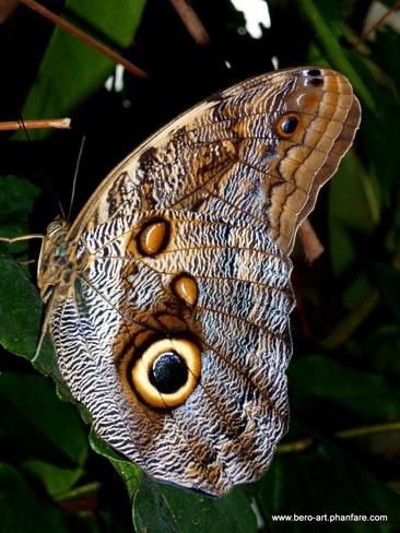 'owl ' butterfly Ottawa, ON