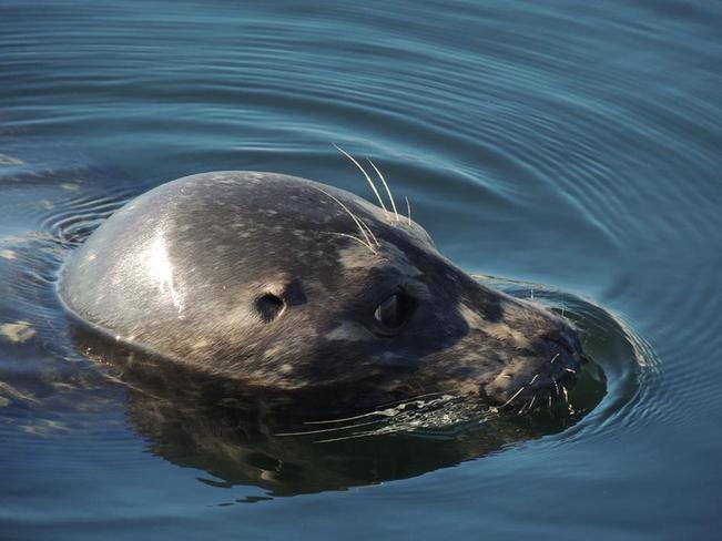 friendly seal Nanaimo, BC