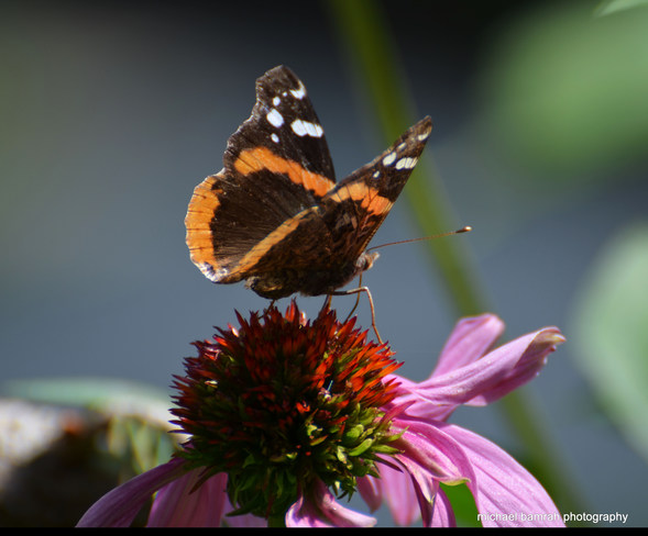Red- Admiral Butterfly Whitby, ON