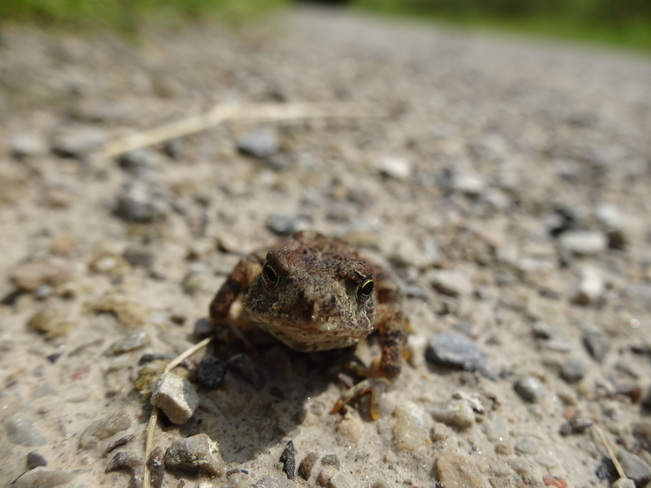 Toad Staring Contest. Cambridge, ON