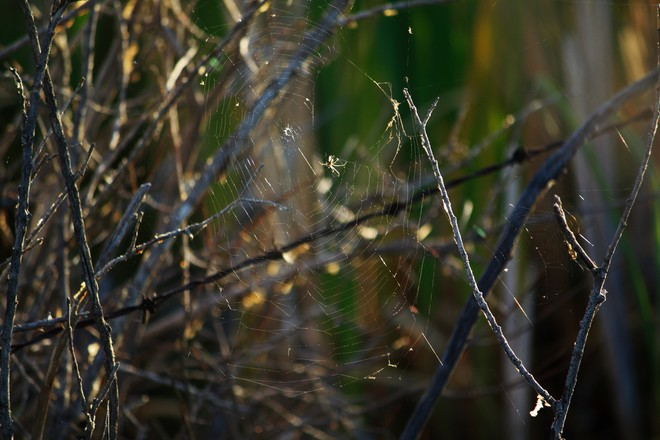 A spider and its web.Sitting in the morning sun.Wetlands calgary ab