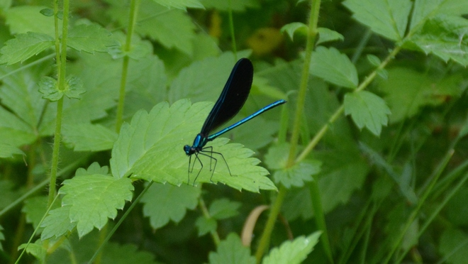 Male versus female Ebony Jewelwing damselflies! St. Catharines, ON