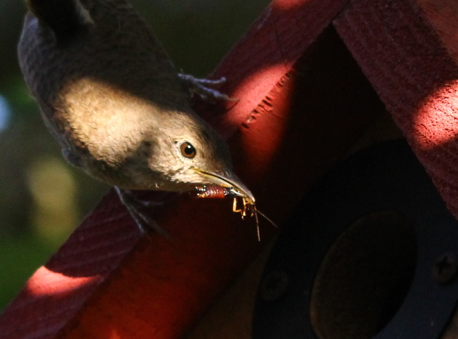 House Wren At My House Fergus, ON