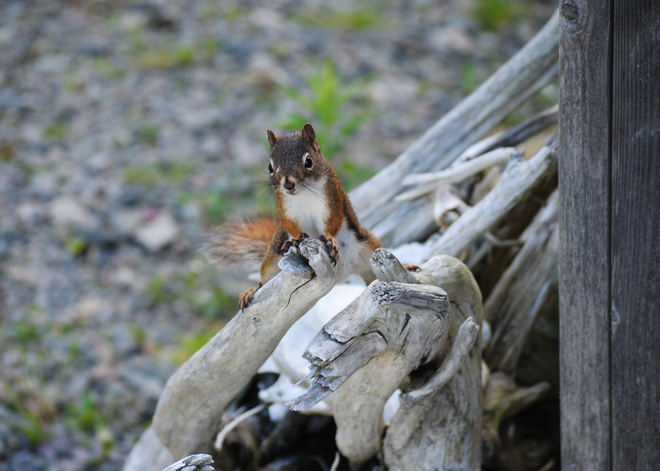 The Squirrel Posedown Point Michaud, NS