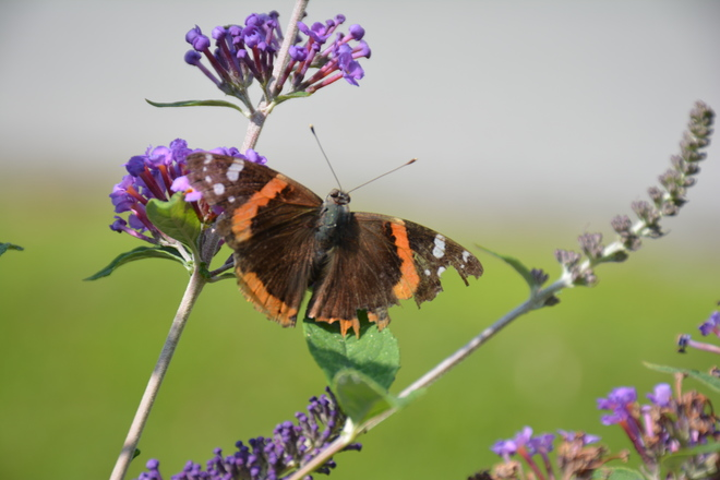 Red Admiral Butterfly! St. Catharines, ON