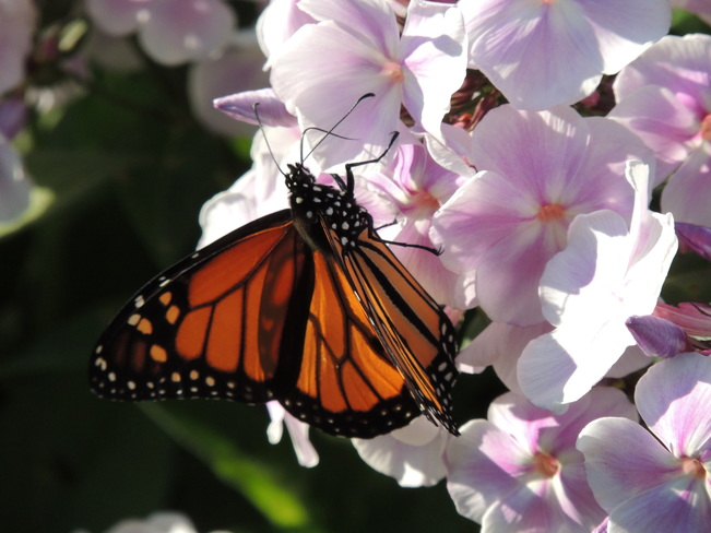 Monarch Butterfly Cold Creek Conservation Area, Nobleton, ON