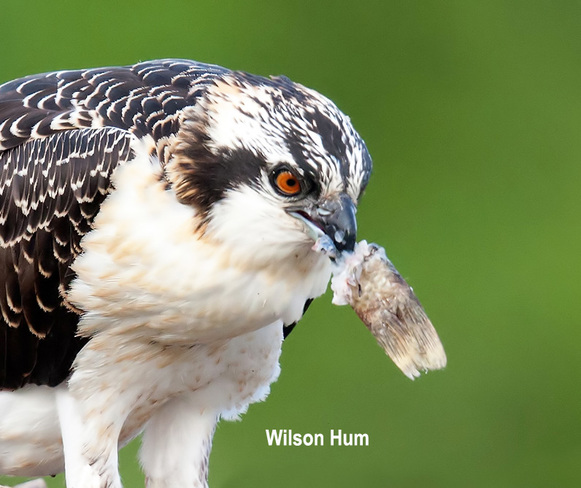 Young osprey with fish dinner Ottawa, ON