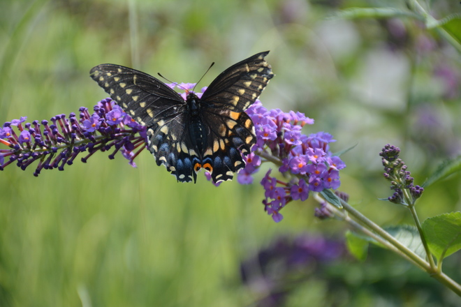 Black Swallowtail Butterfly! St. Catharines, ON