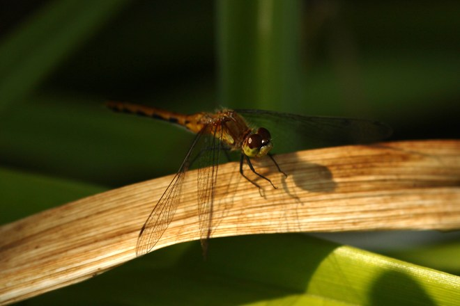 Dragonfly Greater Napanee,ON