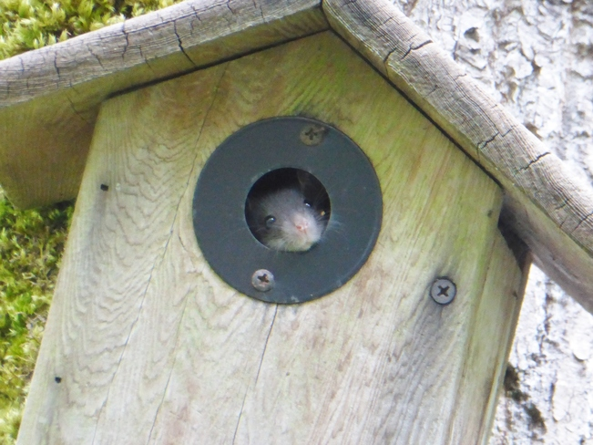 mouse in bird house North Vancouver, BC