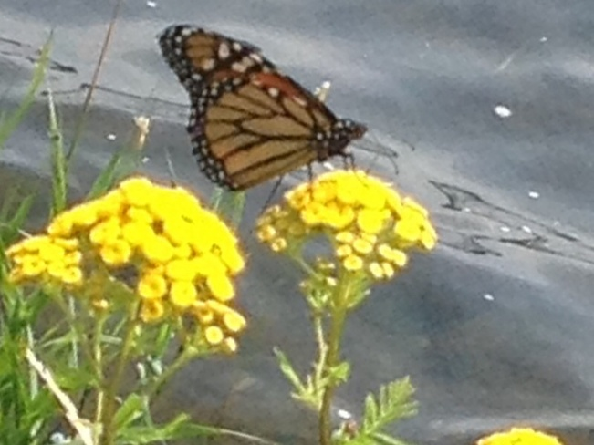 Monarch Butterfly Cornwall, Ontario Canada