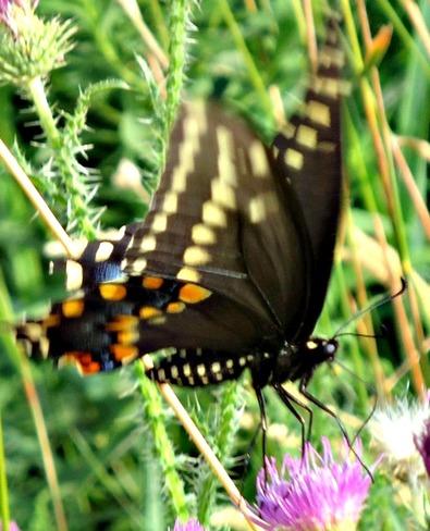 butterfly Belleville, ON