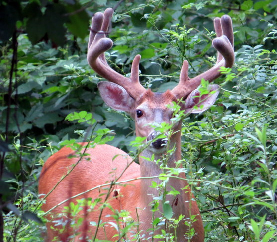 buck today on the side of our backyard Somerset, NJ, United States