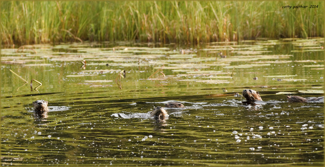 A family of otters. Magnetawan, Ontario Canada