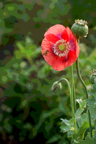 Honey bee on a poppy Kitchener, ON