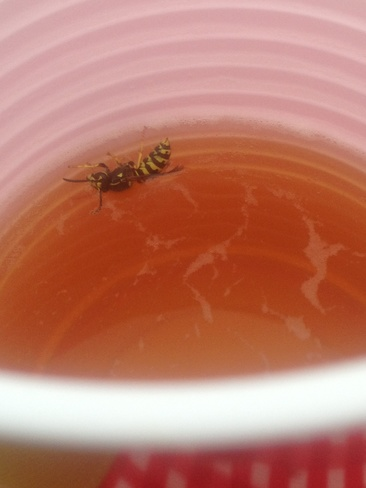 wasp having a swim in beer cup Brooks, Alberta Canada