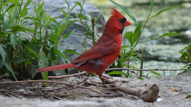 Beautiful male Cardinal! St. Catharines, ON