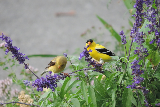 The American Finches are in the Blue Salvia Ottawa, ON