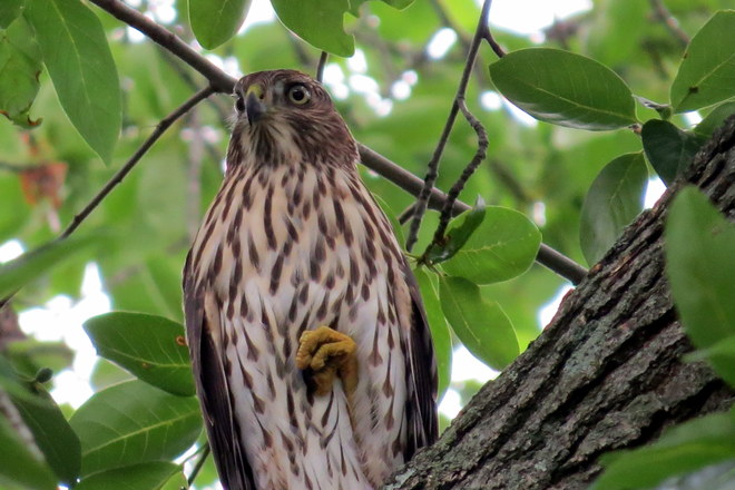 hawk stalking birds high up in our tree Somerset, NJ, United States