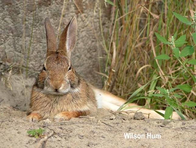 Snowshoe Hare nap Ottawa, ON